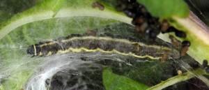 Scythris noricella L5 1