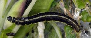 Scythris noricella L5 3