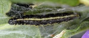 Scythris noricella L5 7