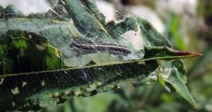 Scythris noricella n 2