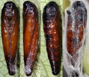 Scythris noricella p