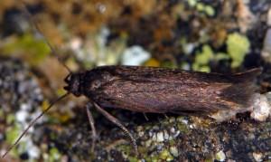 Scythris picaepennis 1