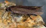 Scythris picaepennis (I, G)