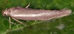 Scythris tenuivittella (I, G)