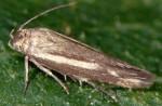 Scythris ventosella (I)