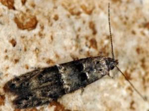 Sorhagenia lophyrella 5