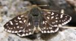Spialia sertorius (I, L5)