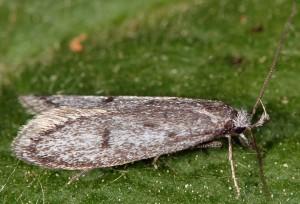 Symmoca cinerariella 10