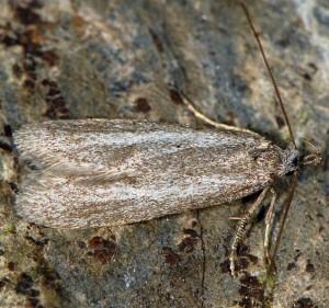 Symmoca cinerariella 2