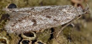 Symmoca cinerariella 3