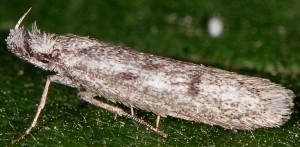 Symmoca cinerariella 4