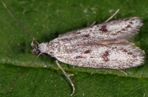 Symmoca cinerariella 5