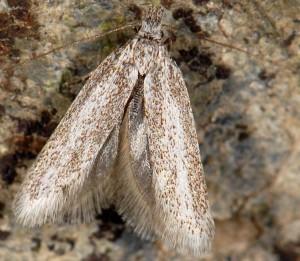 Symmoca cinerariella 6