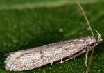 Symmoca cinerariella (I)