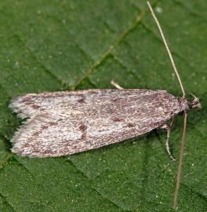 Symmoca cinerariella 9
