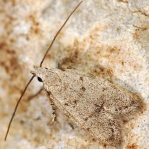 Symmoca oenophila 1