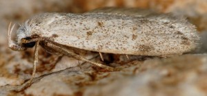 Symmoca oenophila 3