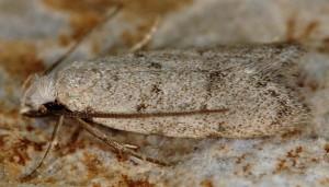 Symmoca oenophila 4