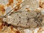 Symmoca oenophila (I, G)