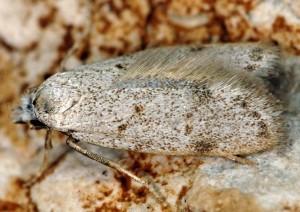Symmoca oenophila 6