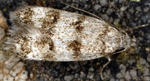 Symmoca orphnella 01