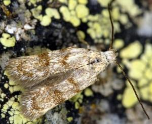 Symmoca orphnella 03