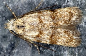 Symmoca orphnella 04