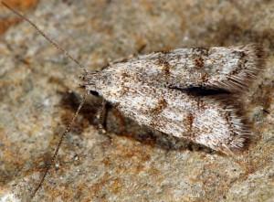 Symmoca orphnella 05