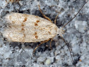 Symmoca orphnella 06