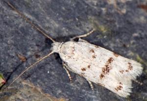 Symmoca orphnella 09