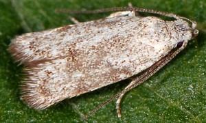 Symmoca orphnella 12