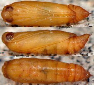 Symmocoides oxybiellus chrysalide 06 1