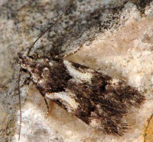 Teleiodes luculella 06 1