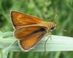 Thymelicus acteon (I)