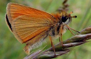 Thymelicus lineola 06 5