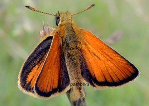 Thymelicus lineola 06 6