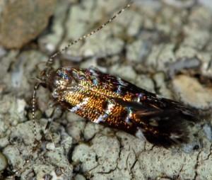 Vulcaniella grabowiella 03