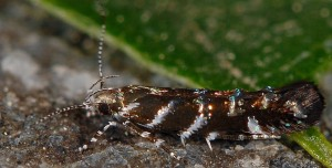 Vulcaniella grabowiella 05