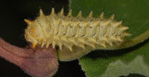 Zerynthia rumina L2