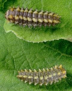 Zerynthia rumina