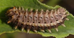 Zerynthia rumina L4