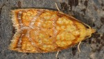 Acleris bergmanniana 06 1
