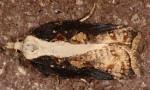 Acleris cristana 06 2