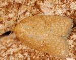 Acleris quercinana 83