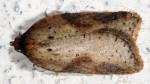 Acleris schalleriana 06 1
