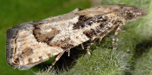 Acroclita subsequana femelle 06 1