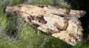 Acroclita subsequana femelle 06 2