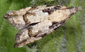 Acroclita subsequana femelle 06 3