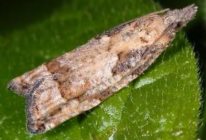 Acroclita subsequana femelle 06 4