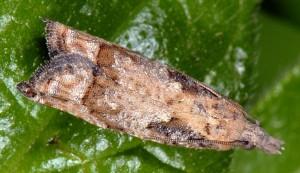 Acroclita subsequana femelle 06 5
